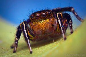 Habronattus hallani jumping spider by Thomas Shahan