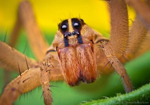 Rabidosa rabida wolf spider by Thomas Shahan.