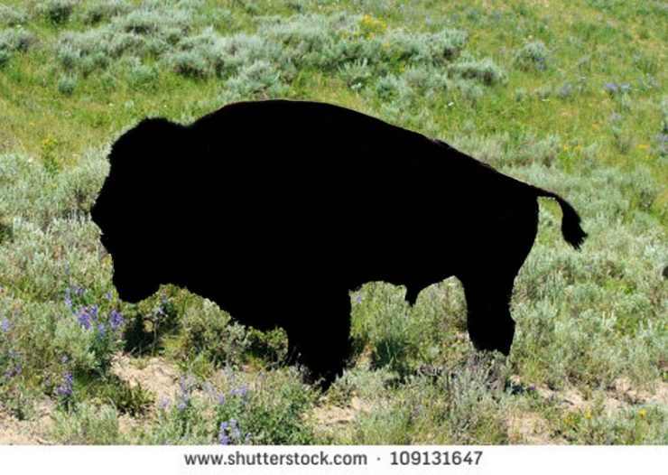 stock-photo-american-bison-male-bellowing-during-mating-season-109131647-outlined