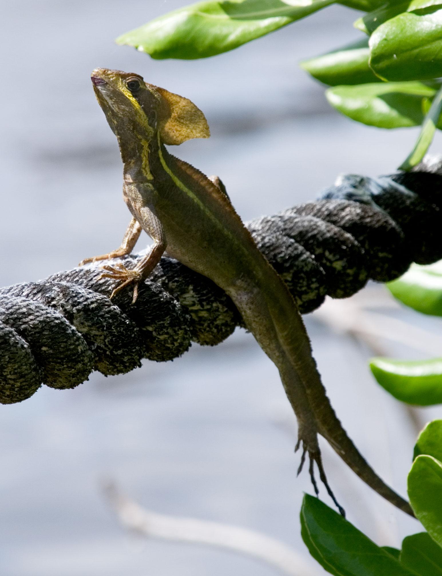 Wild Basilisk, Miami Florida