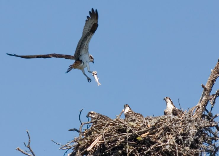 Osprey with fish, feeding young : Flathead Lake, MT.