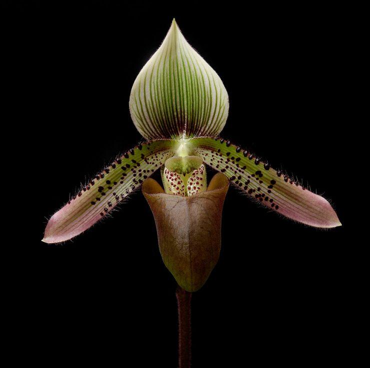 Paphiopedilum ciliolare