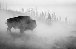 Buffalo in Yellowstone Park Fog