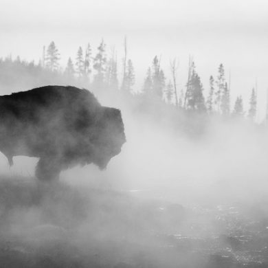 Buffalo in Yellowstone Park Fog