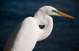 Great Egret, Sarasota Florida