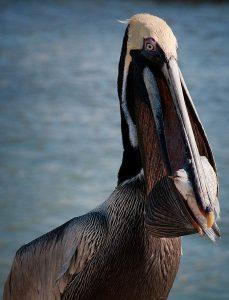 Brown Pelican eating