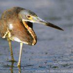 Tricolor Egret by Michael Skelton