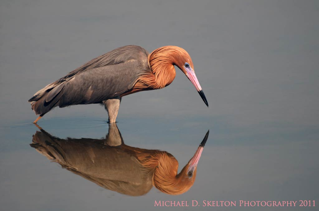 Reddish Egret by Michael Skelton