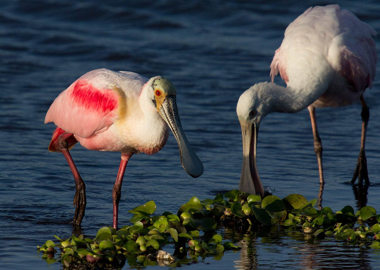 roseate spoonbills, adult and young