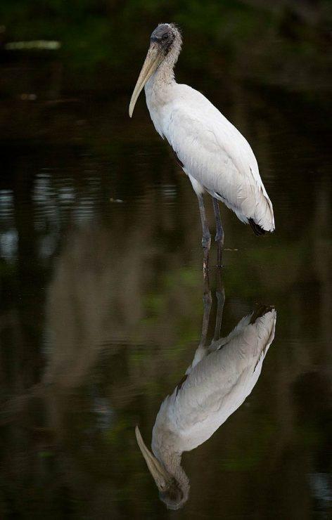wood stork, myakka river