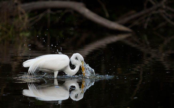 Great Egret Fishing. Myakka, Florida
