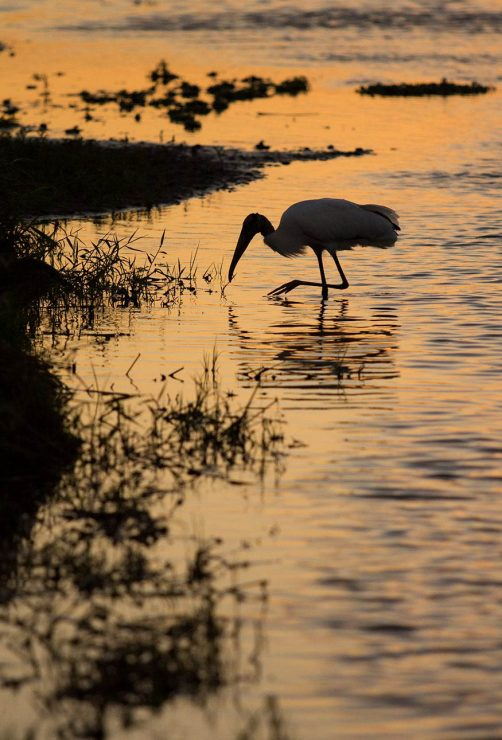wood stork at sunset