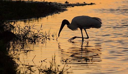 wood stork sunset florida