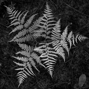 Black and White Fern