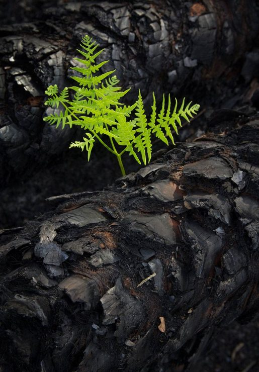 Ferns and burnt palmetto trunks