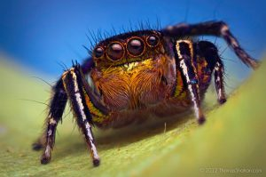 Habronattus hallani jumping spider by Thomas Shahan