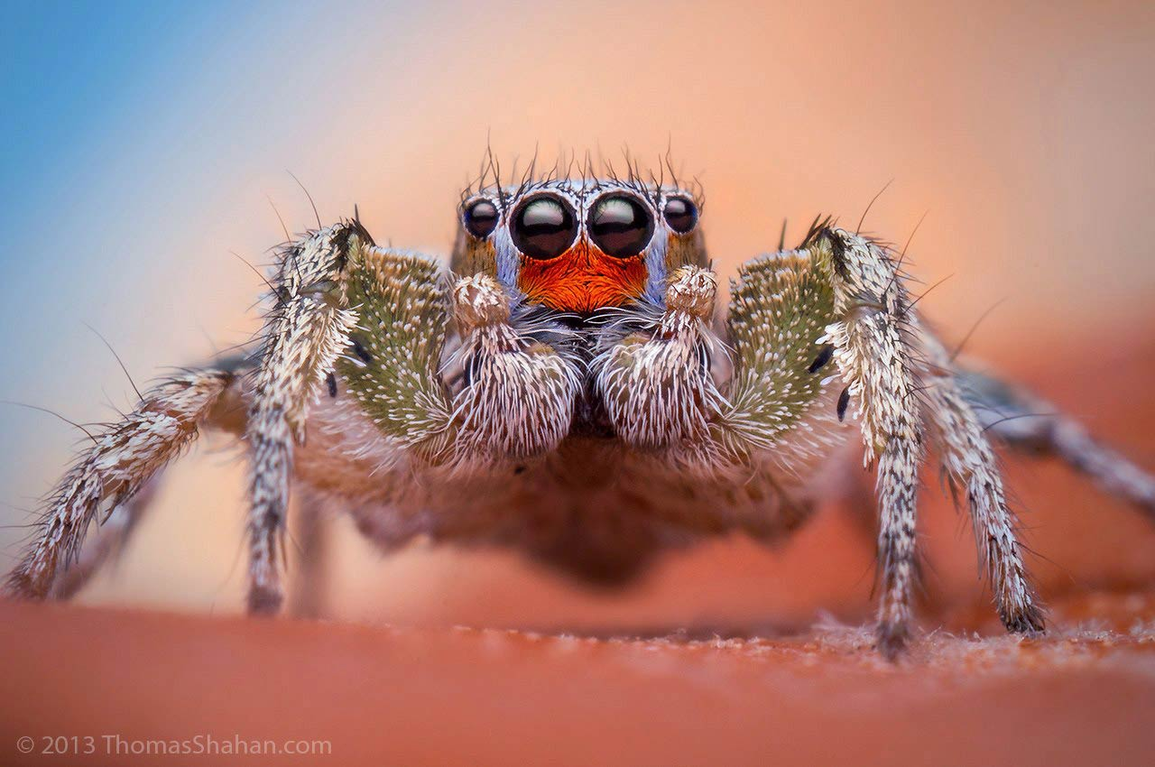 Habronattus virgulatus by Thomas Shahan