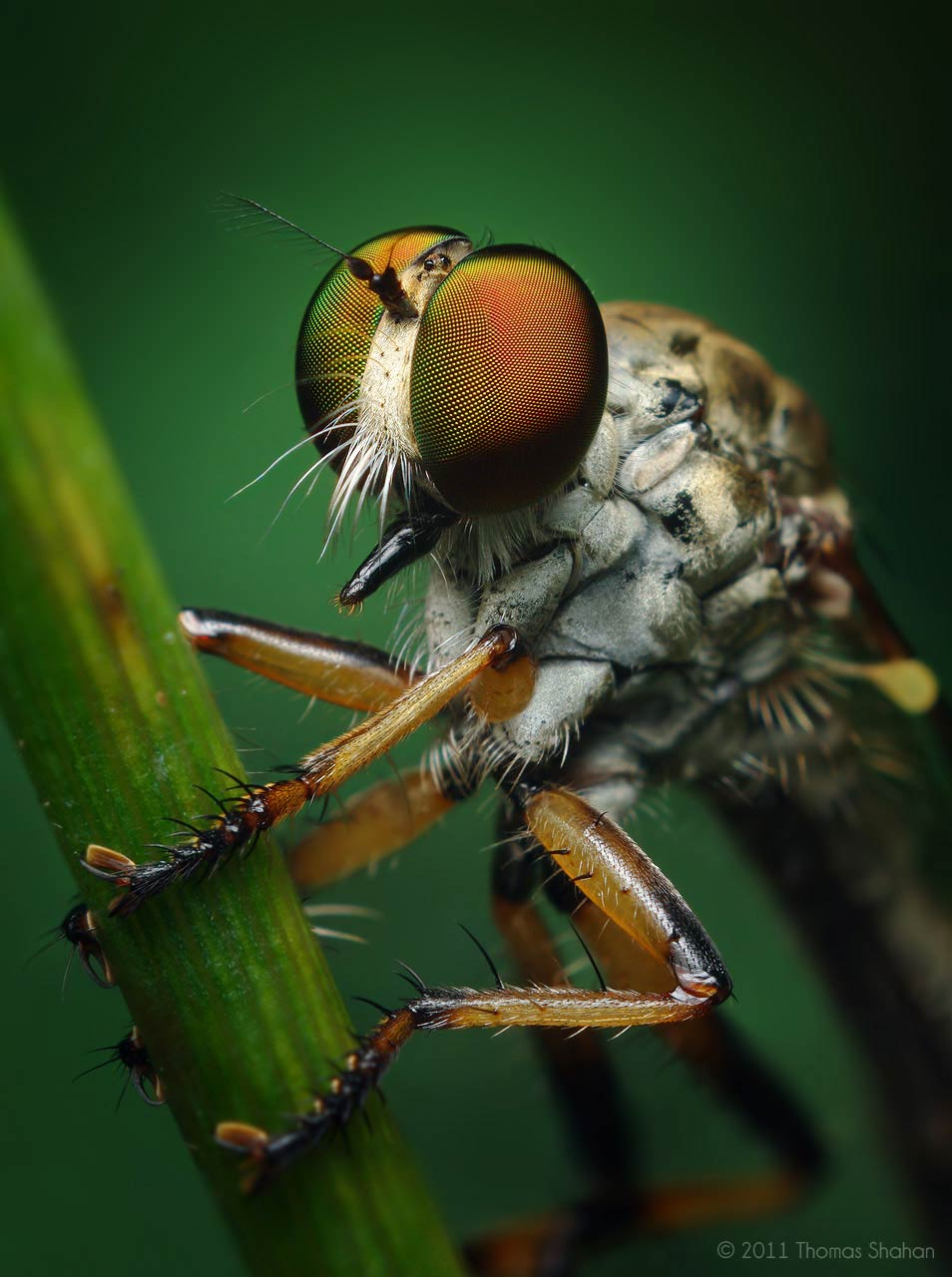 Ommatius Robber Fly by Thomas Shahan