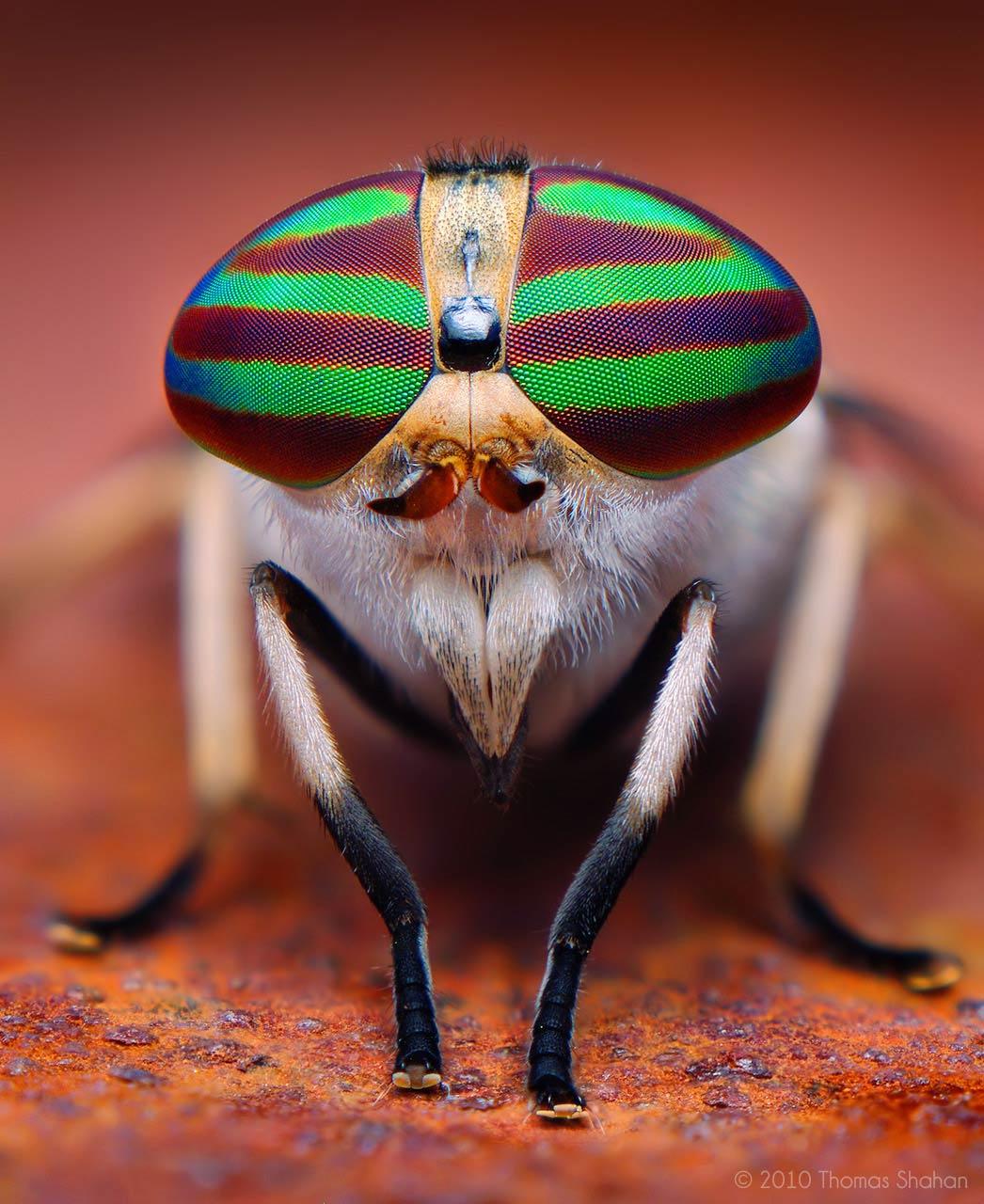 horsefly, by thomas shahan