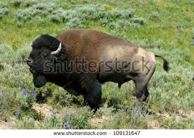 This stock photo looks pretty similar to my bison; it's a similar stance and, well, it's a bison.