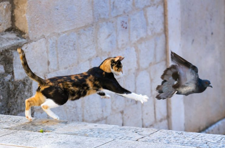 dubrovnik cat jumping at pigeon