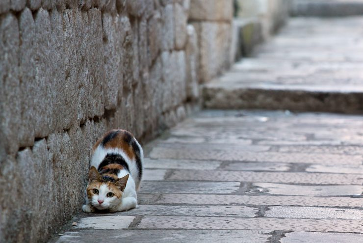 dubrovnik cat about to pounce