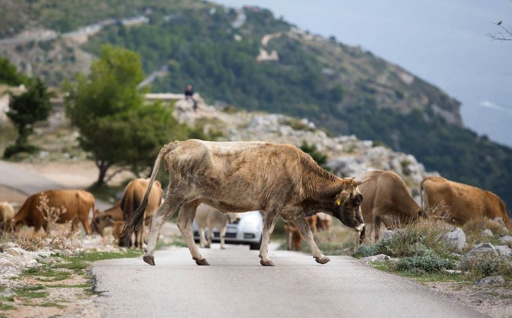 Near the village of Bosanka, a herd of cows wandered across the road.