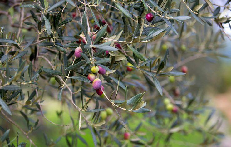croatian olives
