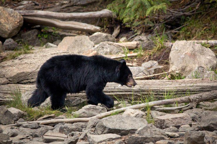 black bear walking on shore of lake