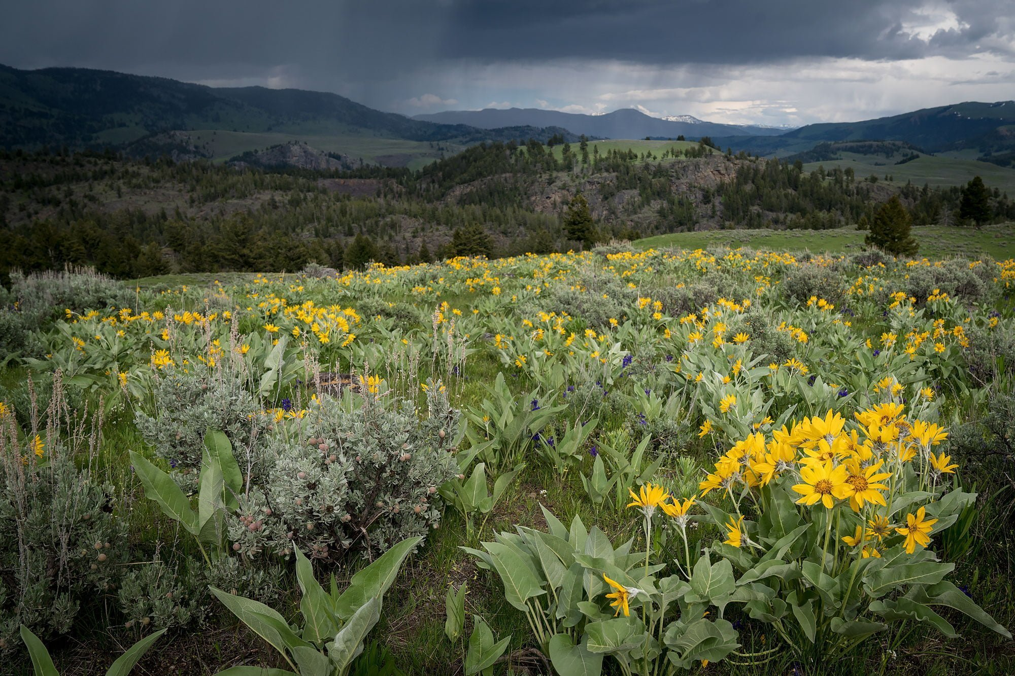Rain clouds over hills and a field of yellow wildflowers in Yellowstone Park, Wyoming