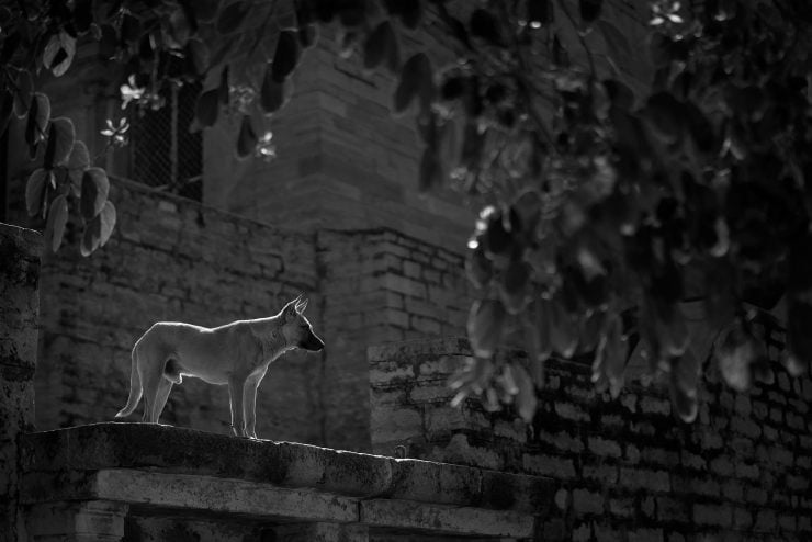 A stray German shepherd stands in a beam of sunlight outside a Gwalior fort