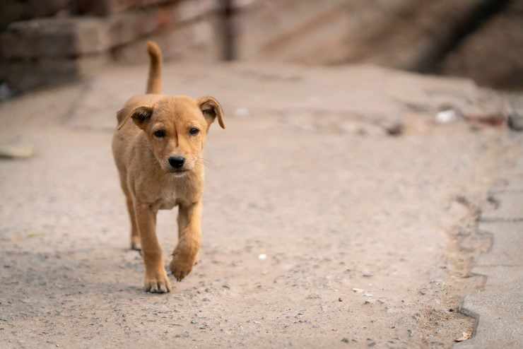 A stray puppy in India walking towards the camera