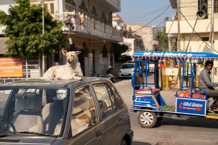 A dog on a car top in Jaipur, India
