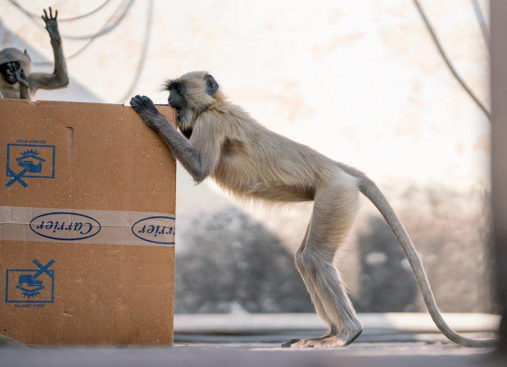 Orchha monkey biting box